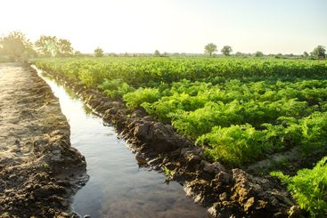 Watering the plantation of young potatoes and carrots...