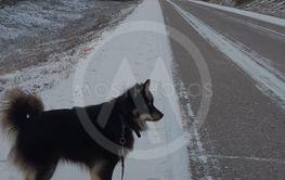 Finsk lapphund på promenad