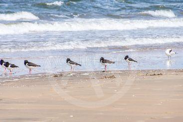Strandskator och mås