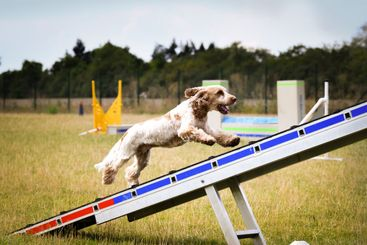 Dog is running in agility park on dog walk