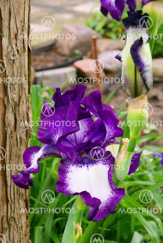 Schwertlilie - iris 48