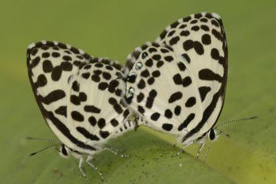 Ett par fjärilar
