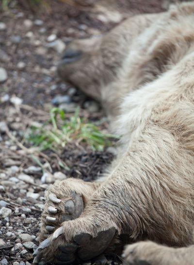 A brown bear resting