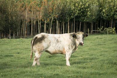 Black and white bull