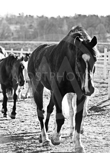 Ridskolehästar