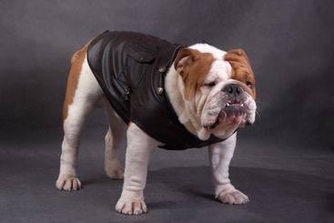 The English bulldog on a color background