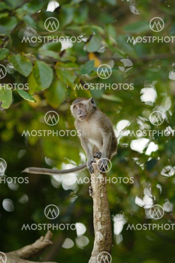 Hoppe makak Monkey