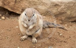 fat gopher