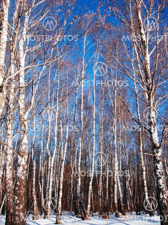 White birches ja poista sininen talvi sky