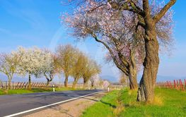 almond blossom in Rhineland Palatinate in spring