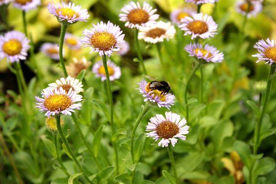 Ydmyge bee på blomst