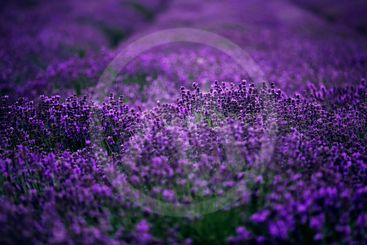 sea of lavender flowers focused on one in the foreground....