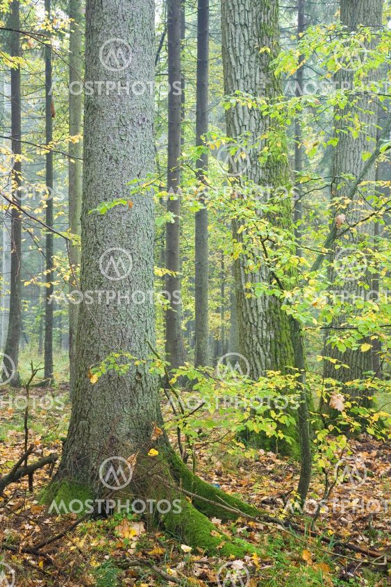 Spruce and hornbeam tree in autumnal forest