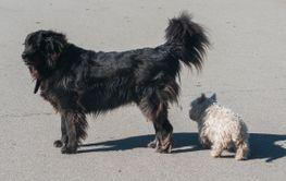 Newfoundland dog and scotch terrier