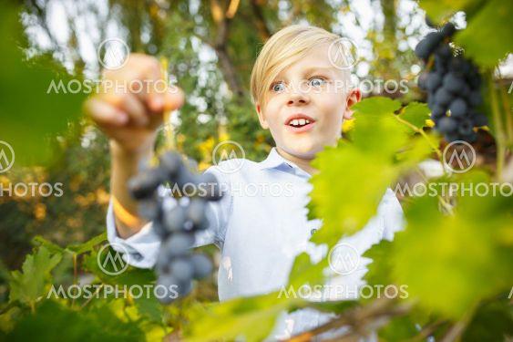 Happy little boy during picking grape in a garden...
