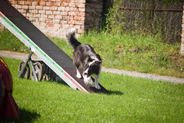 border collie is running in agility park on see-saw.