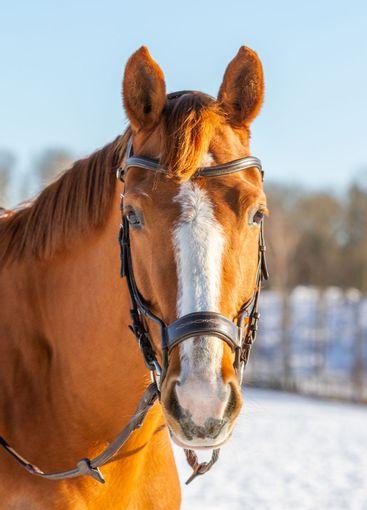 Hästporträtt, vacker fux med bläs - Silvertid