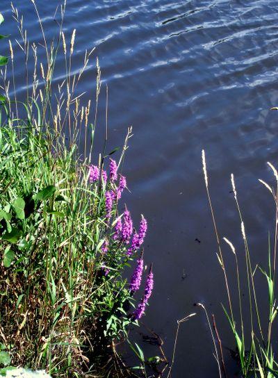 Wild flowers along water