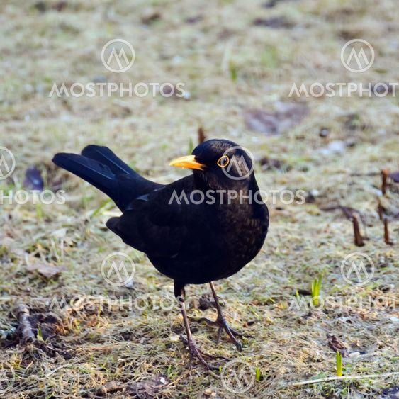 Common blackbird aware of any enemy