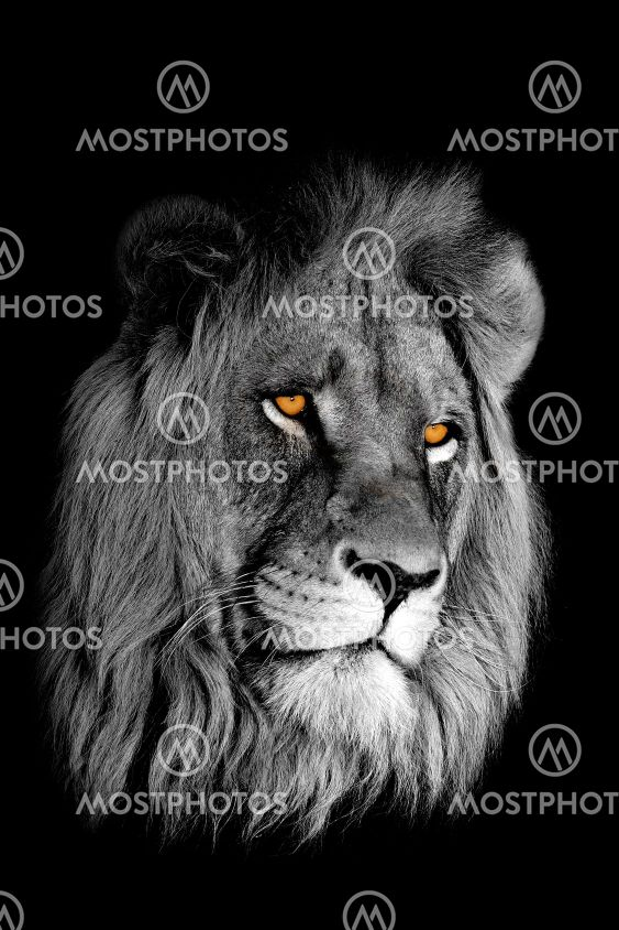 Afrikanska lejon porträtt