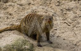 Closeup portrait of a banded mongoose, Adorable tropical...