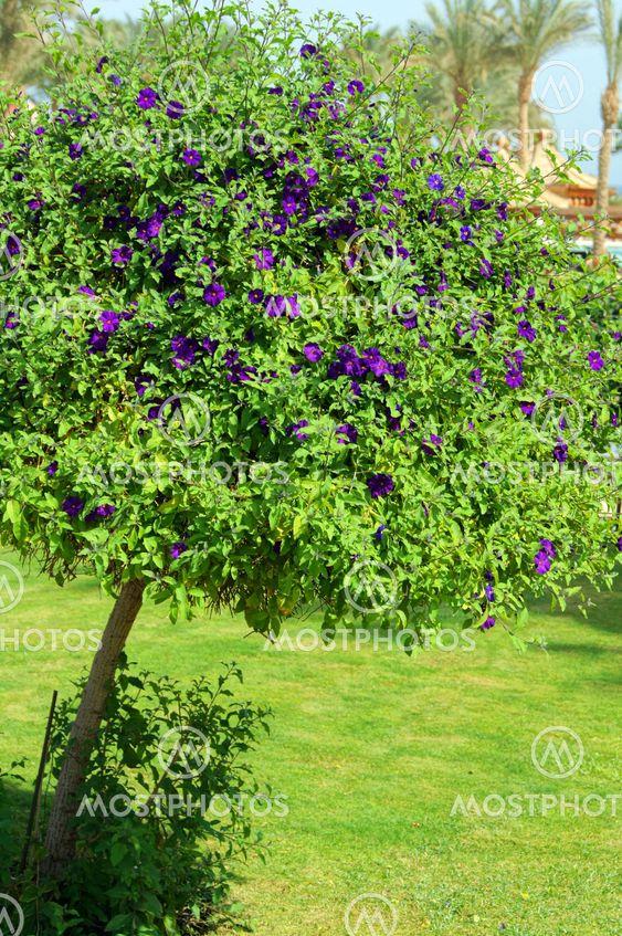 Allamanda tree