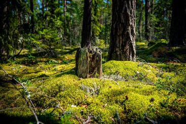 Stubbe i skogen med tjock mossa och ljus .