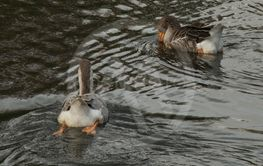 atalay duck get you in the lake darling