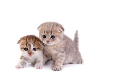 Scottish fold kittens on white background
