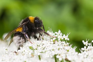 Little Bumble bee ...
