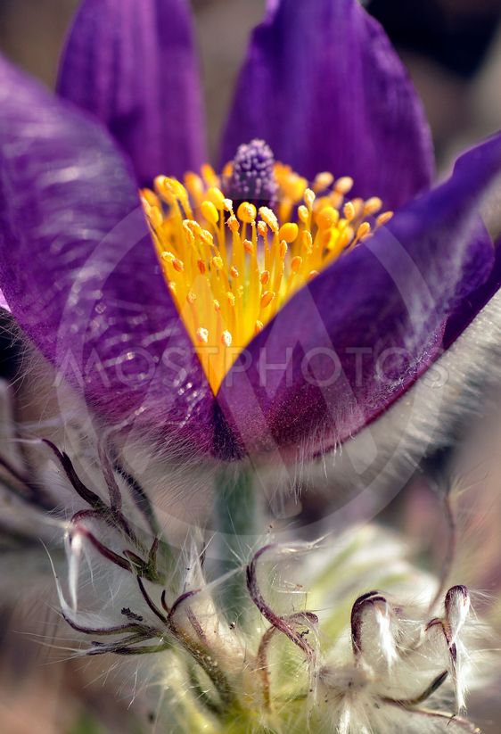 PASQUEFLOWER