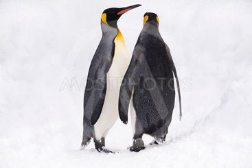 Couple of King Penguins.