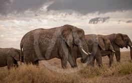 Group of elephants