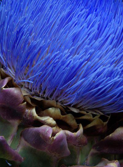 Artichoke Flower in Full Bloom.