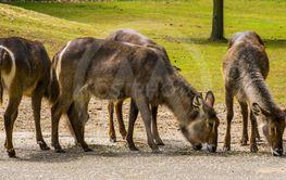 Herd of female waterbucks together, marsh antelope...