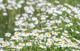 White moon daisys in a summer grass field during a sunny da