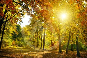 Autumn forest, yellow leaves and the sunset.