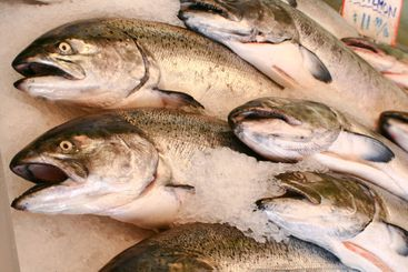 several dead salmon at pike's