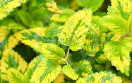Variegated Lemon Balm.