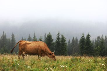 A red cow grazes in a summer meadow with mountains in...