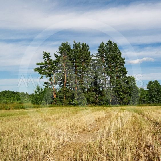 pine group and field