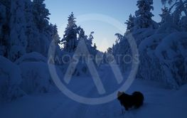 Finsk lapphund i sog med snötunga träd
