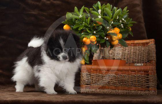White pomeranian dog with tangerine and basket