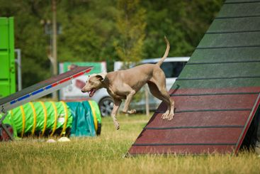 Dog, is running in agility.