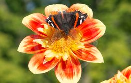 Dahlia with Red Admiral