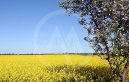 Yellow spring in Altmark