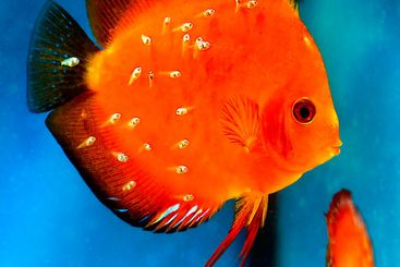 discus fish with fry