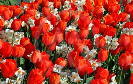 Red tulips and white daffodils