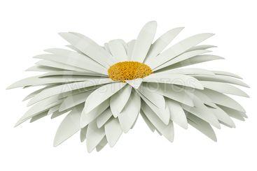 Chamomile flower, isolated