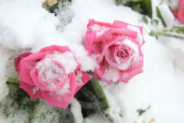 two bright pink roses on snow